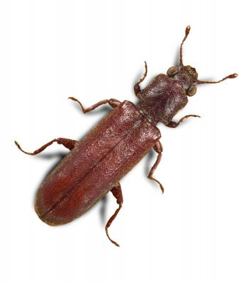 Lyctus brunneus S.