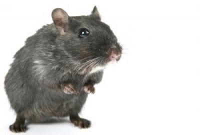 Lokaas zwarte rat