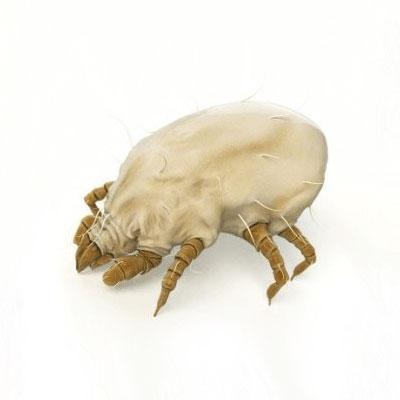 Dermatophagoides pteronyssinus T.