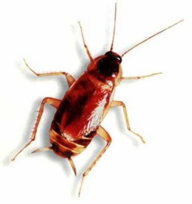 Bruinbandkakkerlak