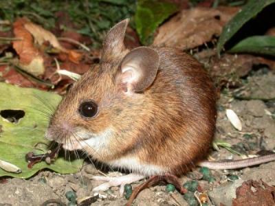 Latijns Apodemus sylvaticus L.